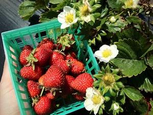 Cueillette de fraises à maturité