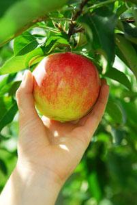 Cueillette de pomme à la main