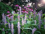 Fleurs en épis pour massifs de vivaces