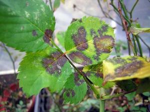 Attaque maladie champignon blessure tout - Maladie des rosiers photo ...