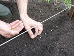 Semis en place au potager