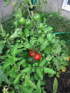 Tomate cerise - Espace entre les pieds de tomates ...