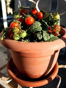Tomate cerise - variété naine