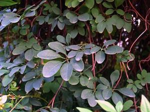 Akebia quinata - Feuillage d'automne