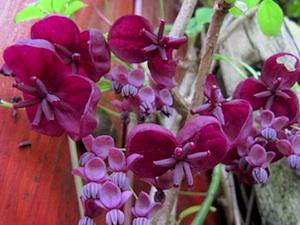 Akebia quinata : variétés, plantation, entretien