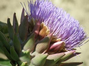 Artichaut : fleur épanouie