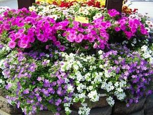 Bacopa cordata Scopia® violet et blanc et pétunias roses
