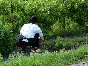 Récolte d'herbes aromatiques