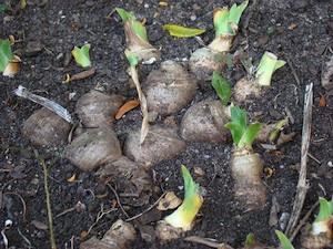 Rhizomes d'iris