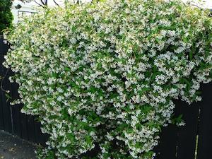 jasmin toil trachelospermum jasminoides