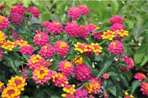 Lantana en fleurs
