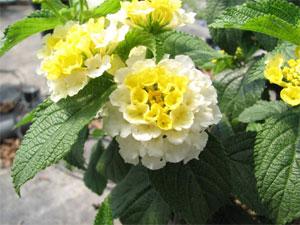 Lantana jaune et blanc