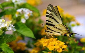 Papillon butinant une fleur de lantana