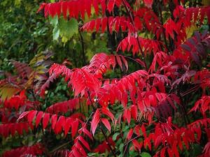 Sumac en automne