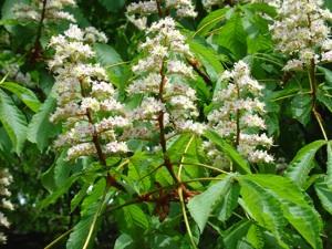 Aesculus hippocastanum - Fleurs