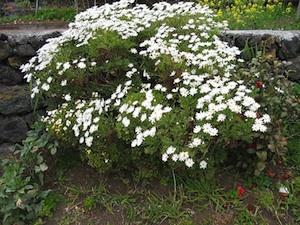 Argyranthemum frutescens - Buisson