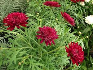 Anthemis frutescens (Argyranthemum frutescens)