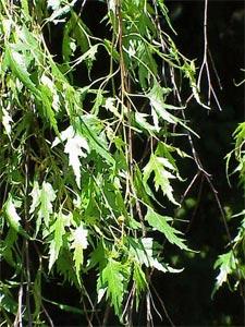 Betula pendula var. Laciniata