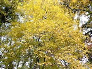 Carpinus tschonoskii - Automne