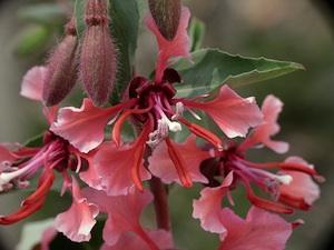 Clarkia unguiculata : semis et conseils d'entretien