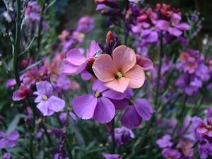 Erysimum : semis, plantation, conseils de culture