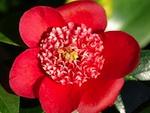 Journées du Camellia : 14 et 15 mars 2009 à Courson