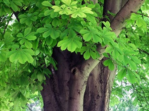 Aesculus hippocastanum - Marronnier commun