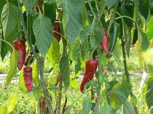ou planter piment