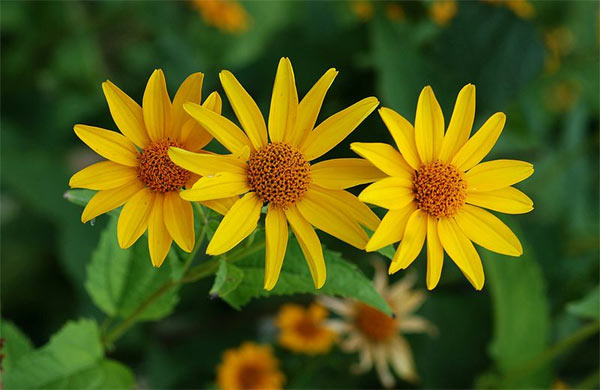 Variations en jaune pour t fleuri for Fleurs jaunes jardin vivace