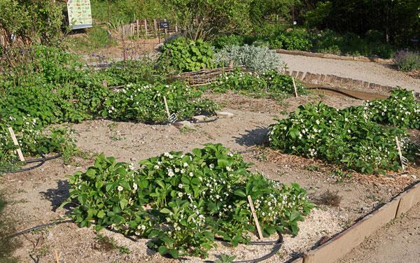 Quel paillage pour vos fraisiers for Quel arbre pour mon jardin