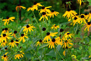 Rudbeckia sullivanti 'Goldstrum'