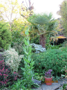 En fond de massif : palmier de Chine (Trachycarpus fortunei)