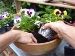 Planter les bisannuelles