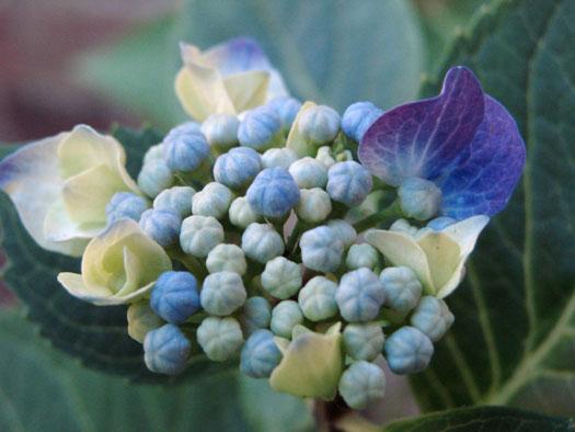 Hydrangea macrophylla 'Blaumeise' (Hortensias, hydrangeas : quelle famille !)