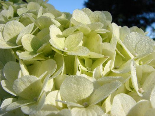 Hydrangea macrophylla 'Mme Emile Mouillère' (Hortensias, hydrangeas : quelle famille !)