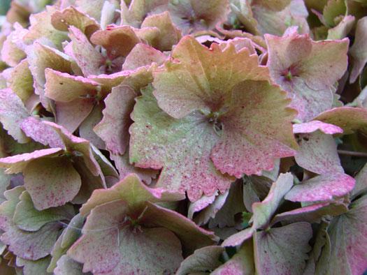 Hydrangea macrophylla automne