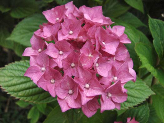 Hydrangea macrophylla, cultivar (Hortensias, hydrangeas : quelle famille !)