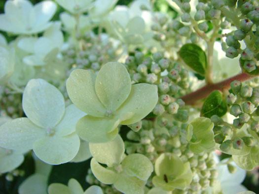 Hydrangea paniculata 'Phantom' (Hortensias, hydrangeas : quelle famille !)