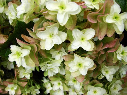 Hydrangea quercifolia 'Snow Flake' (Hortensias, hydrangeas : quelle famille !)