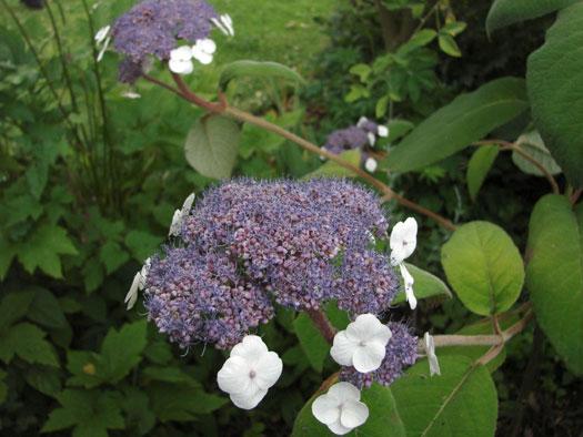Hydrangea sargentiana (Hortensias, hydrangeas : quelle famille !)