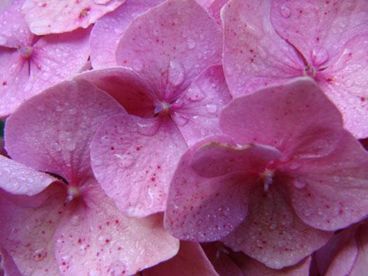 Hydrangea serrata 'Preziosa' (Hortensias, hydrangeas : quelle famille !)