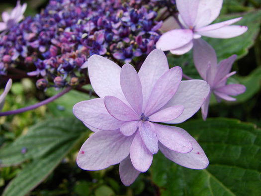 Hydrangea serrata 'Stellata' (Hortensias, hydrangeas : quelle famille !)