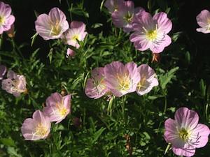 Oenothère : facile à cultiver et superbe en massifs