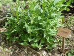 Chervis : semis, culture et récolte