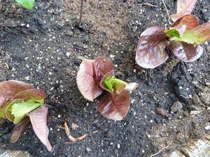 Jeunes plants de laitue