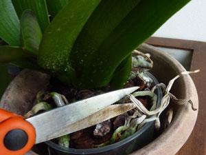orchid e phalaenopsis trucs et astuces. Black Bedroom Furniture Sets. Home Design Ideas