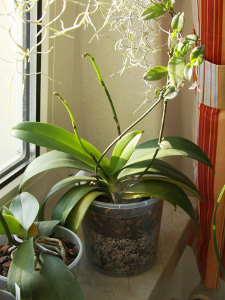 Orchidée derrière la fenêtre