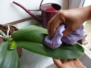 Nettoyage du feuillage de l'orchidée phalaenopsis avec un chiffon humide