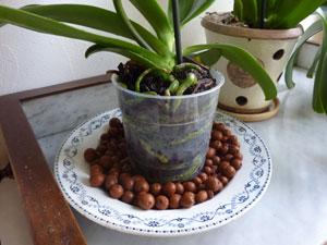 Orchidee Phalaenopsis Trucs Et Astuces