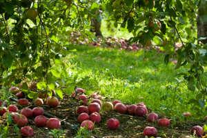 Pommes à terre